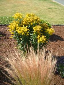 Stipa Tenuissima and Solidago 'Golden Baby'