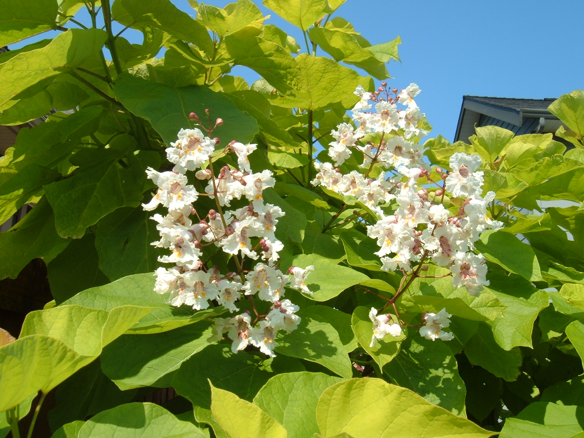 catalpa bignonioides aurea hortophile my new garden. Black Bedroom Furniture Sets. Home Design Ideas