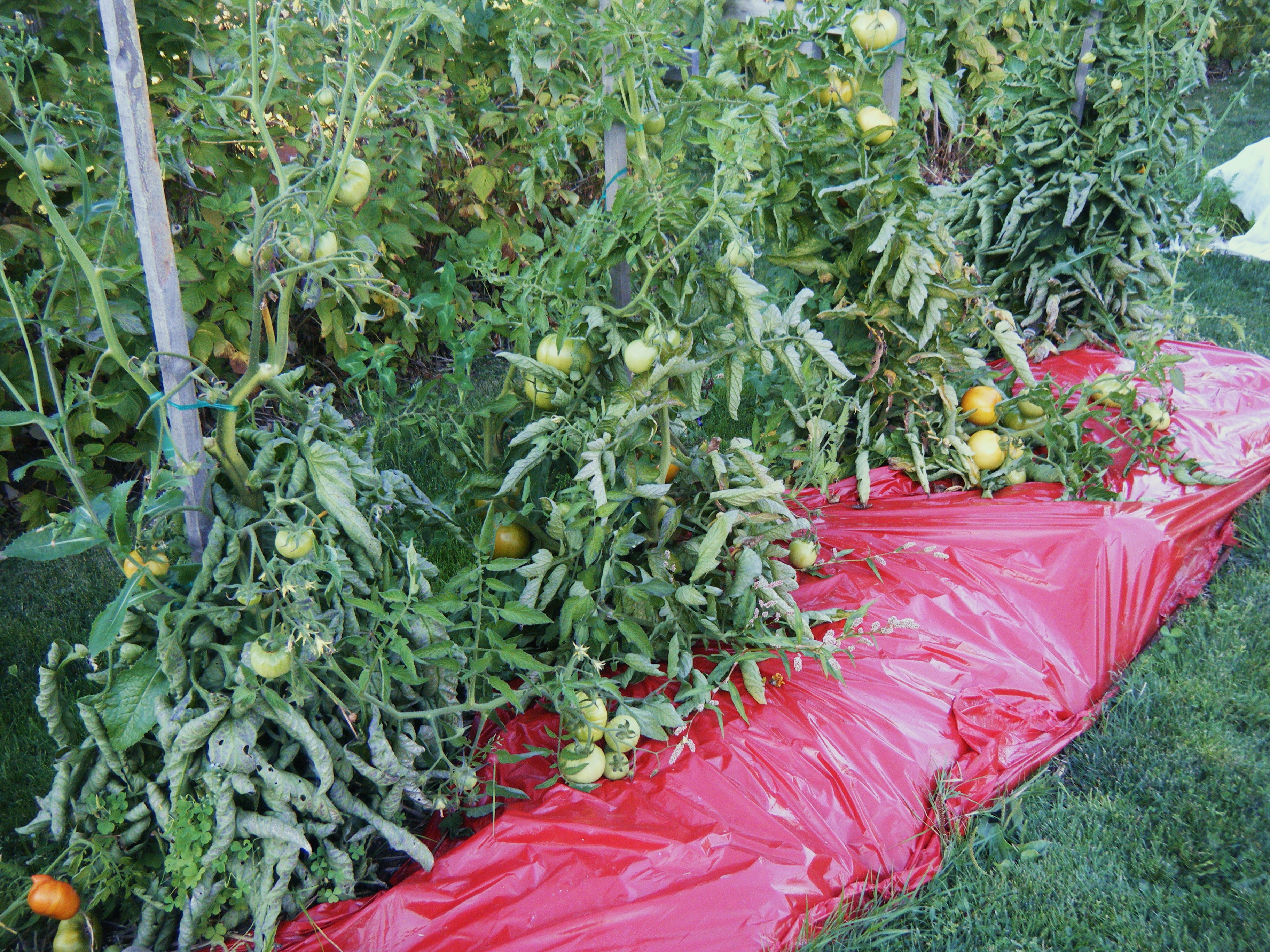 update on tomatoes and red plastic mulch hortophile my