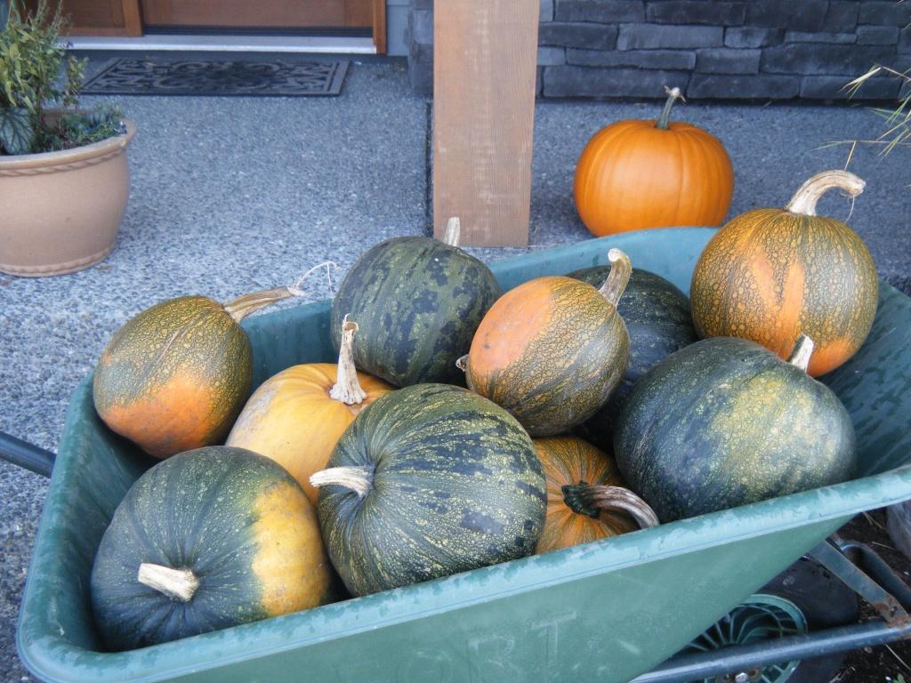 My Pumpkin harvest 2011