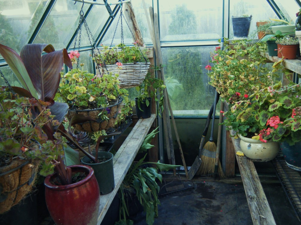 In the greenhouse, safe from frost