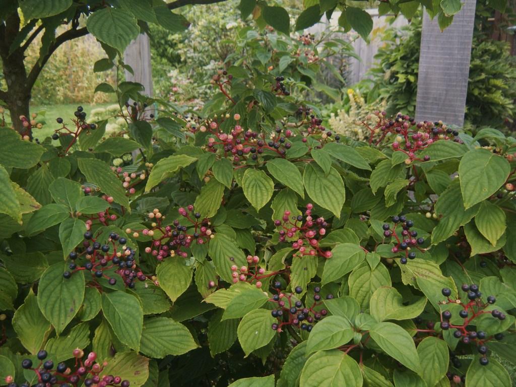 cornus alternifolia - ripening fruit