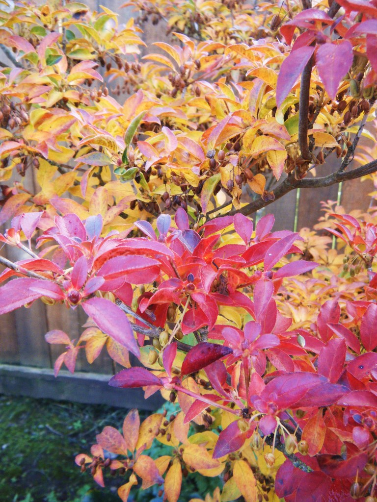 Enkianthus autumn foliage