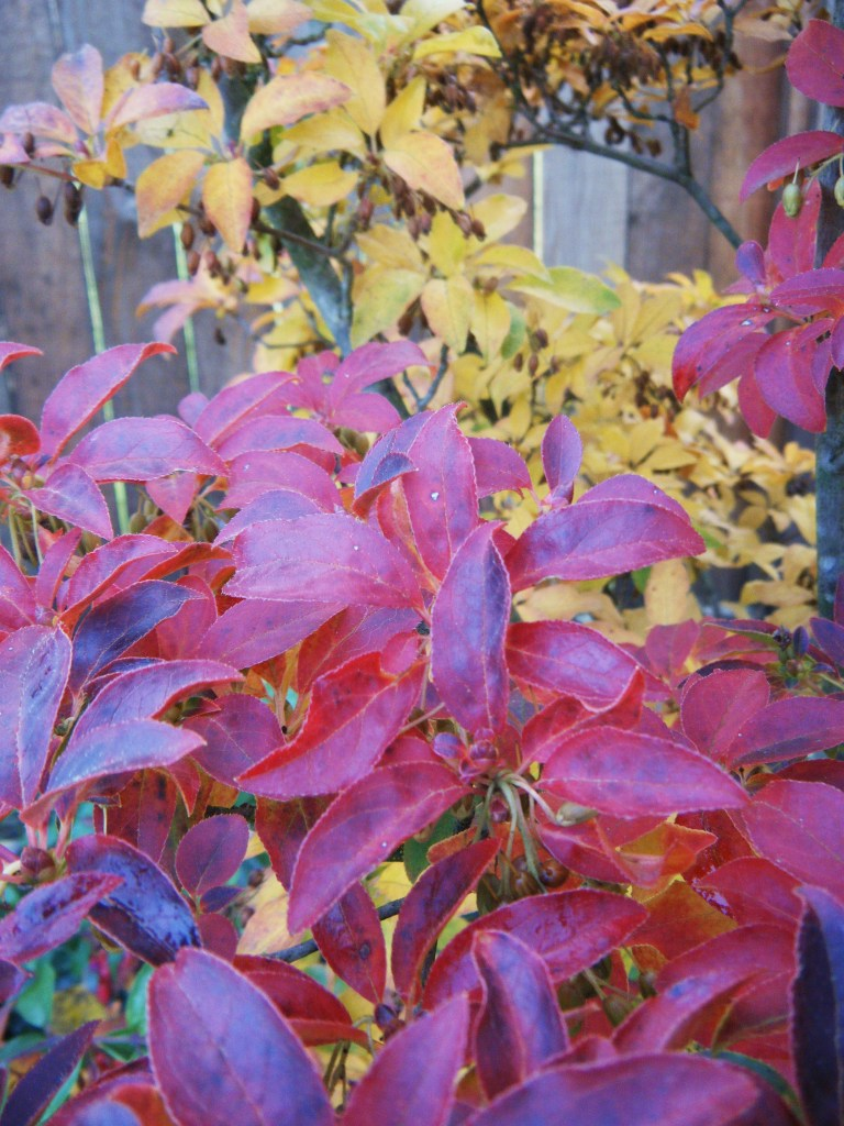Enkianthus campanulatus fall colour