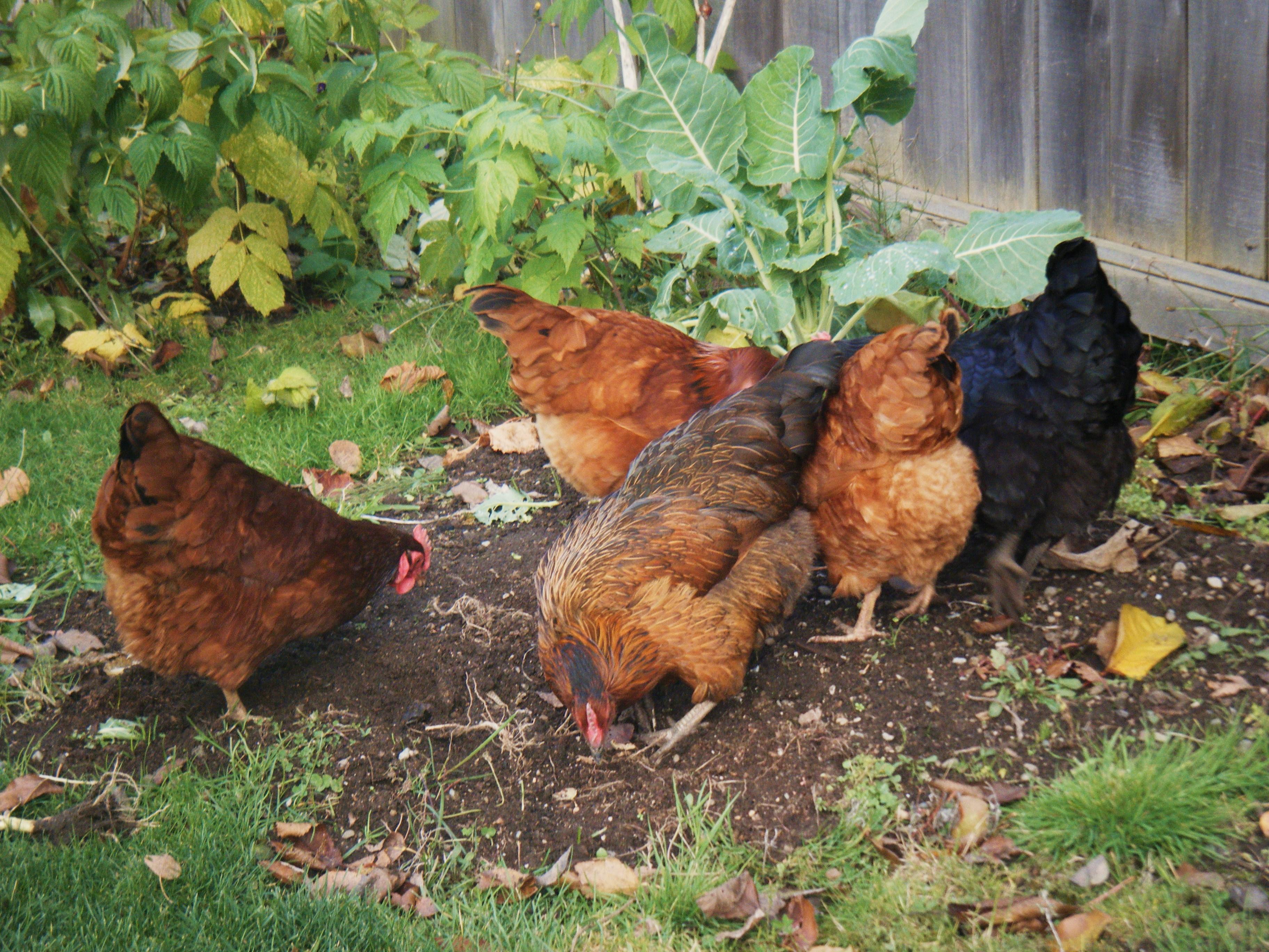 rats in the henhouse hortophile u2013 my new garden