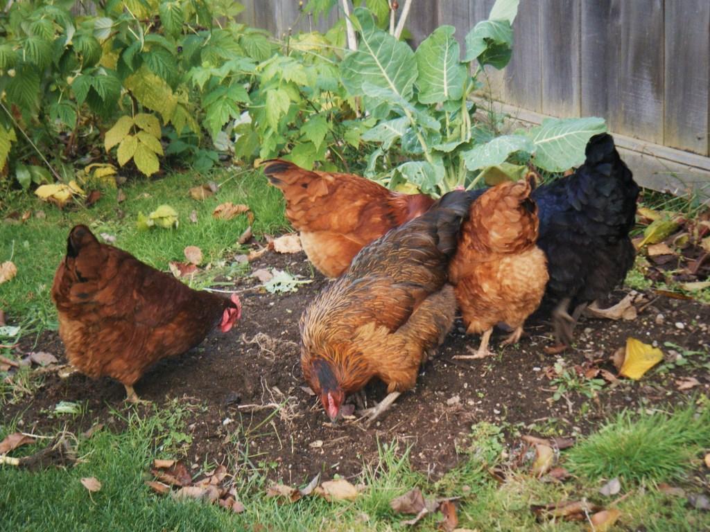 Unperturbed hens