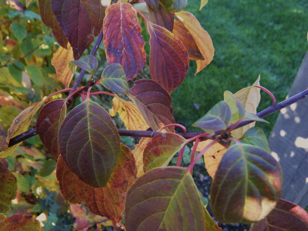 Cornus alternifolia fall colour
