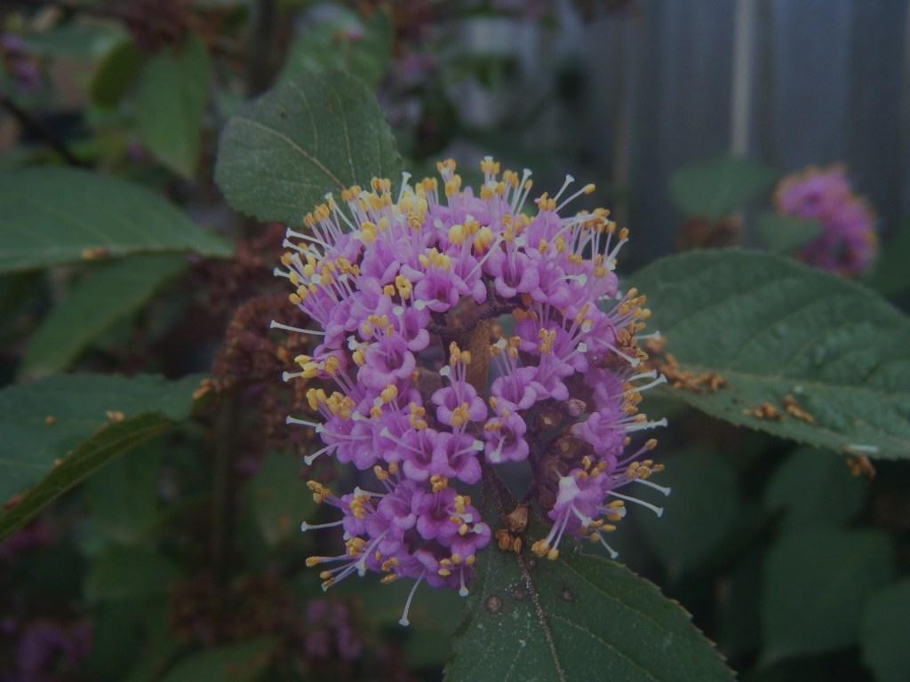 Callicarpa flower cluster