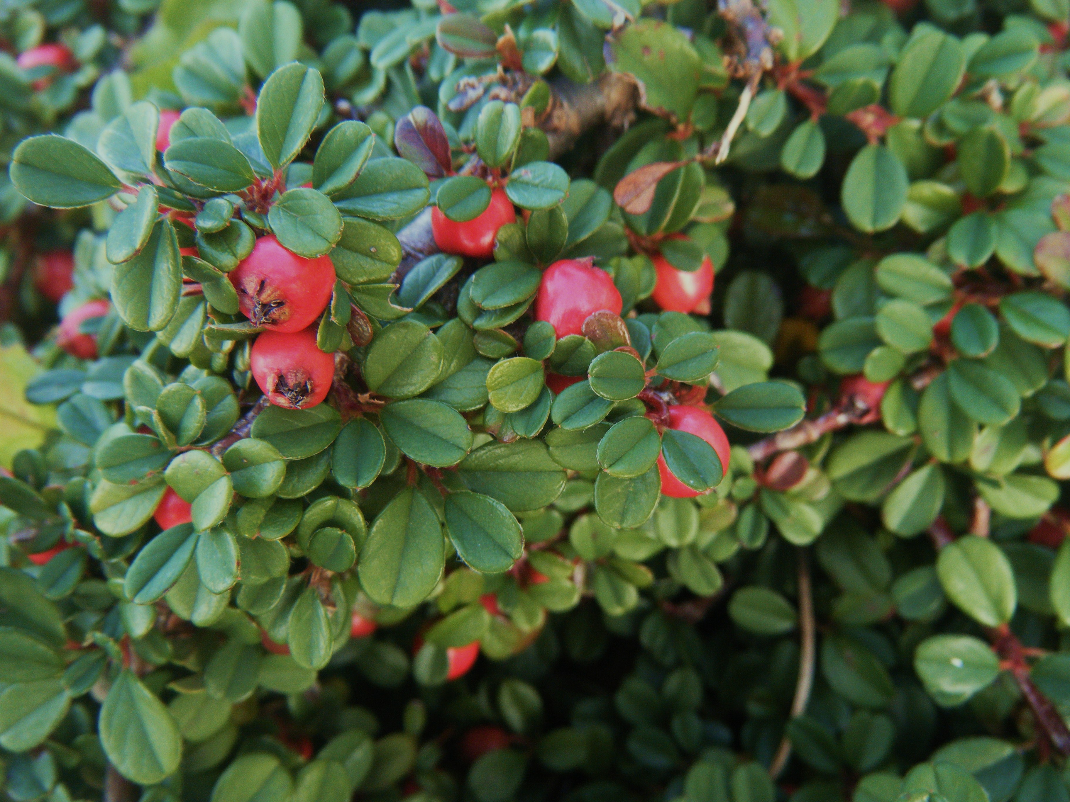 Cotoneaster Dammeri Streib S Findling Hortophile My