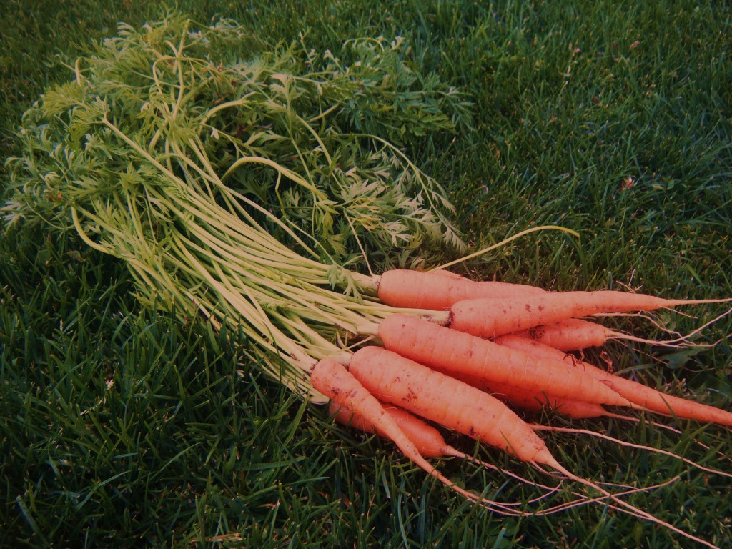 Homegrown carrots are the best!