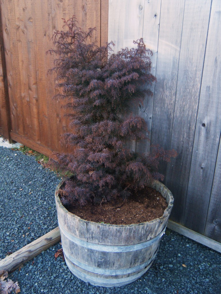 Cryptomeria japonica 'Elegans' - winter colour