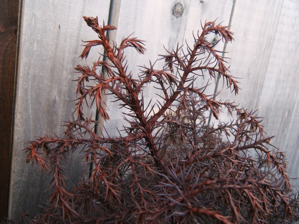 closeup of Cryptomeria japonica 'Elegans' foliage in winter