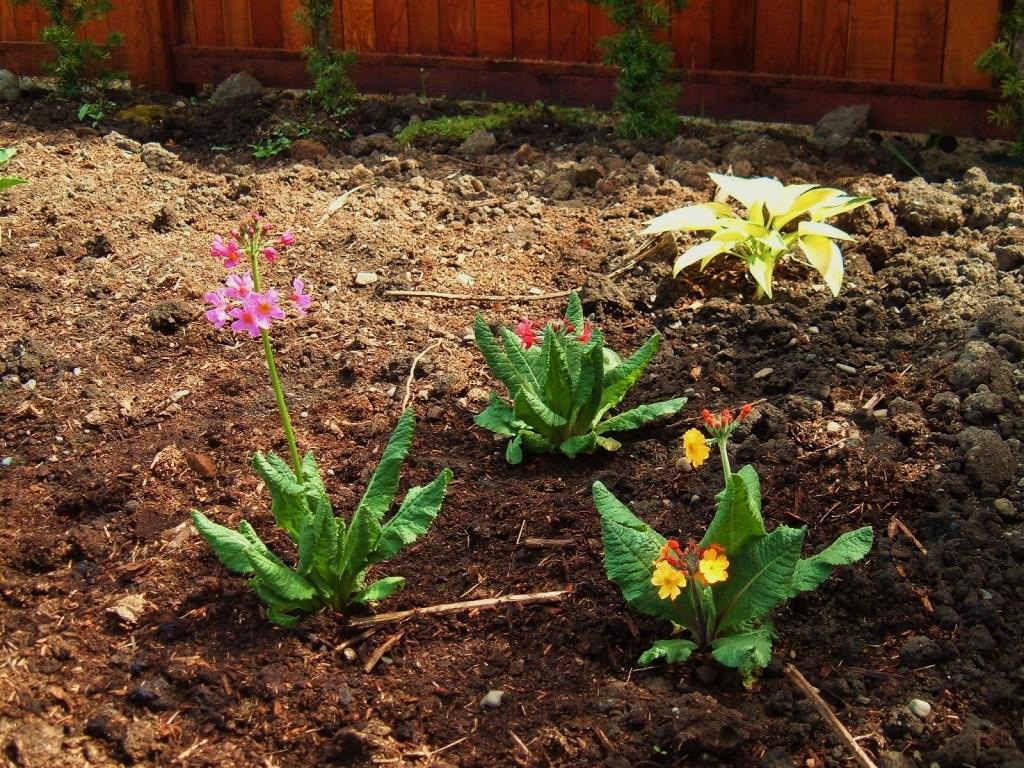 Newly planted Primula bulleesiana
