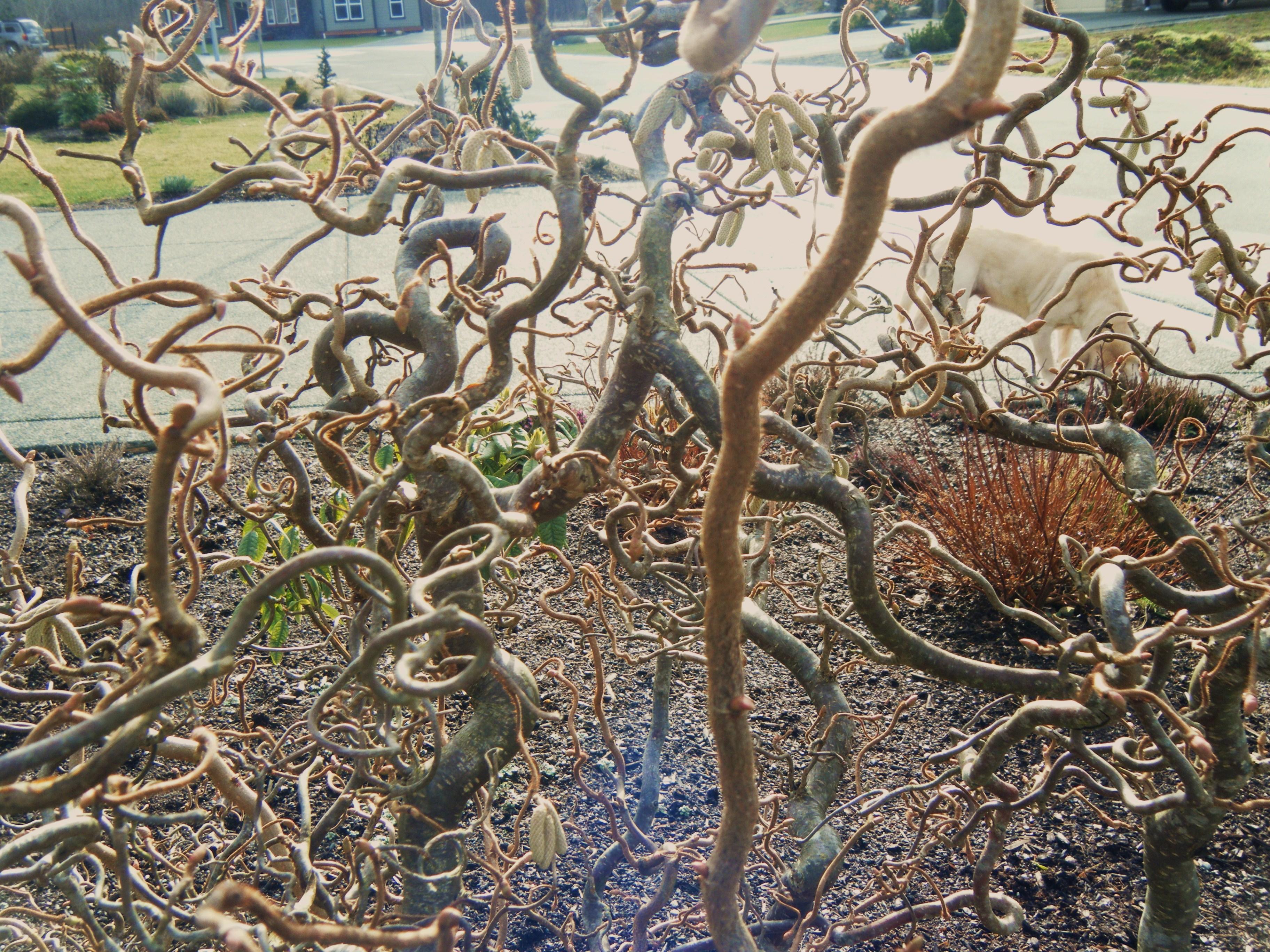 Harry lauder walking stick trees -  Harry Lauder S Walking Stick And Old Man S Walking Stick Corylus Avellana Contorta