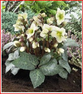 Helleborus x ericsmithii 'Winter Moonbeam' pic from Fraser's Thimble Farms