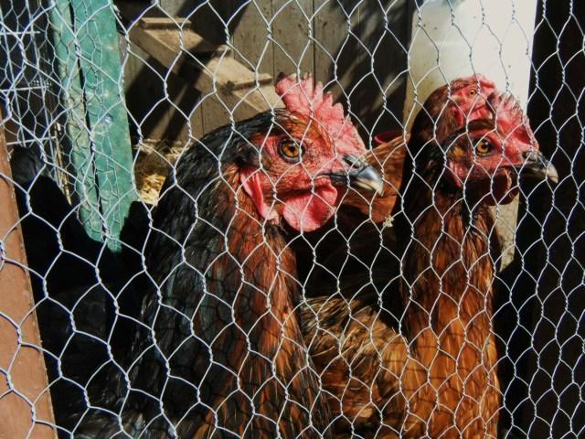 Perturbed hens