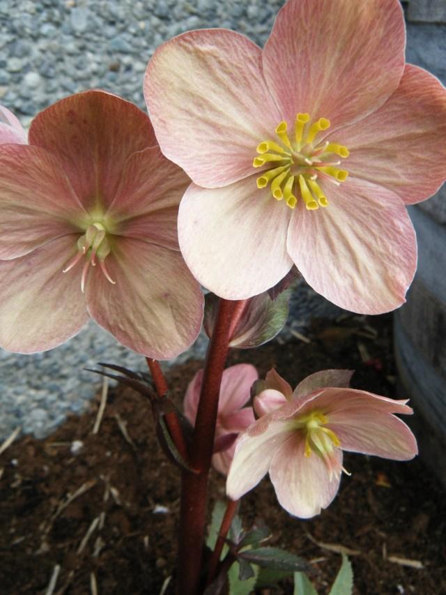 Helleborus x ballardiae 'Pink Frost'