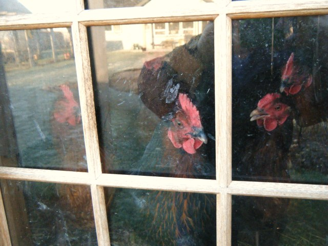 Chicken window