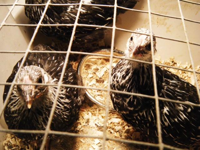 Silver Laced Wyandotte Chicks