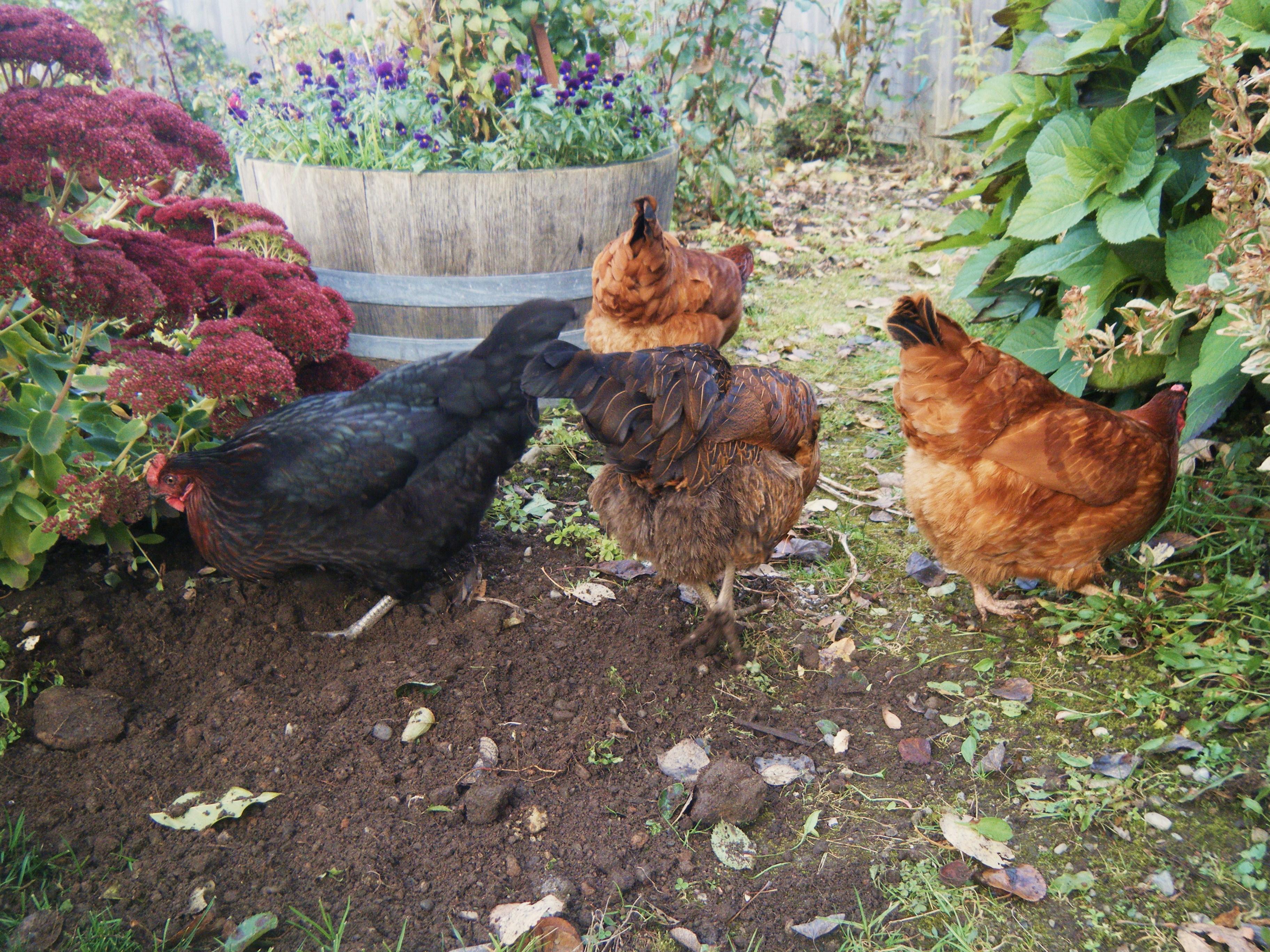 free range chickens hortophile u2013 my new garden