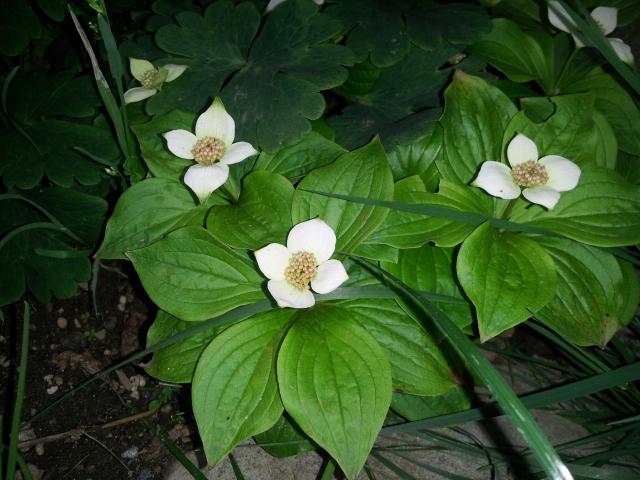 Cornus canadensis - bunchberry