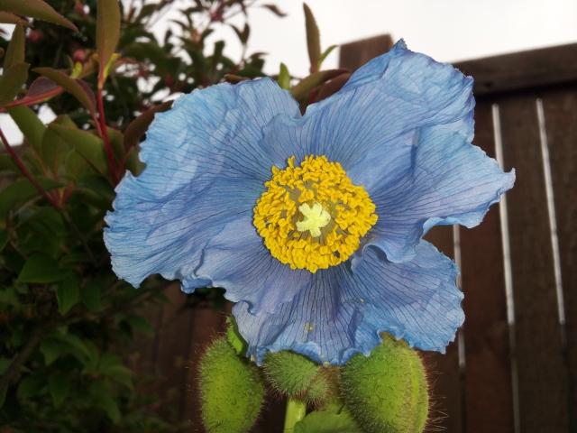 Meconopsis baileyi 'Himalayan Blue Poppy'