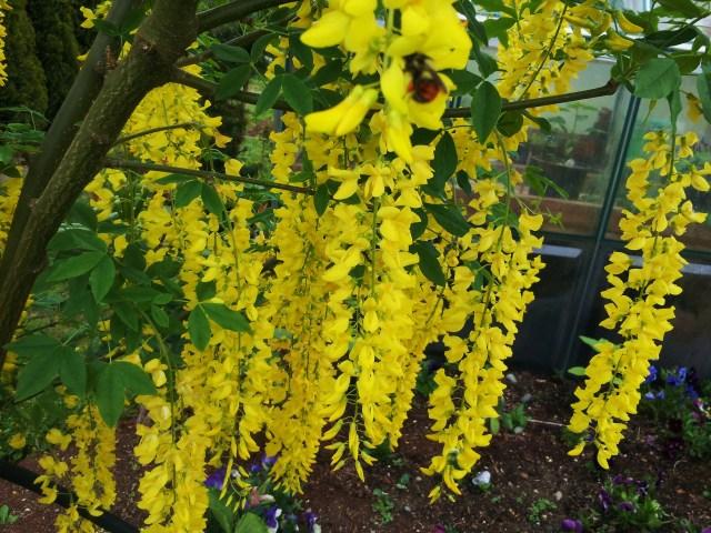 Laburnum x watereri 'Vossii' blossoms