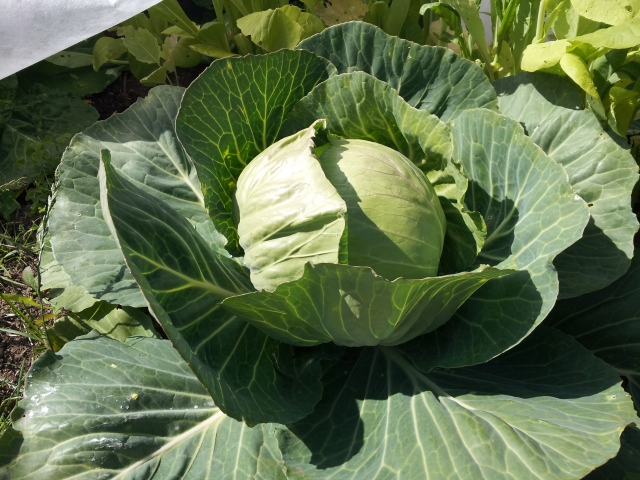 The coldest June on record - good weather for cabbages!