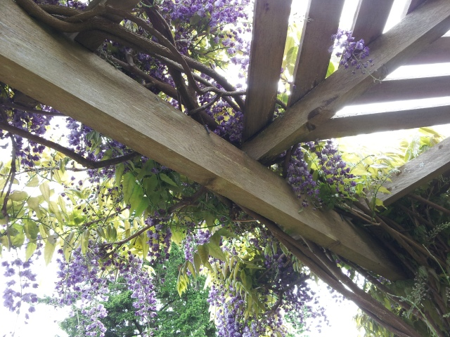 Is that the summer sun peeking out from behind the wisteria?