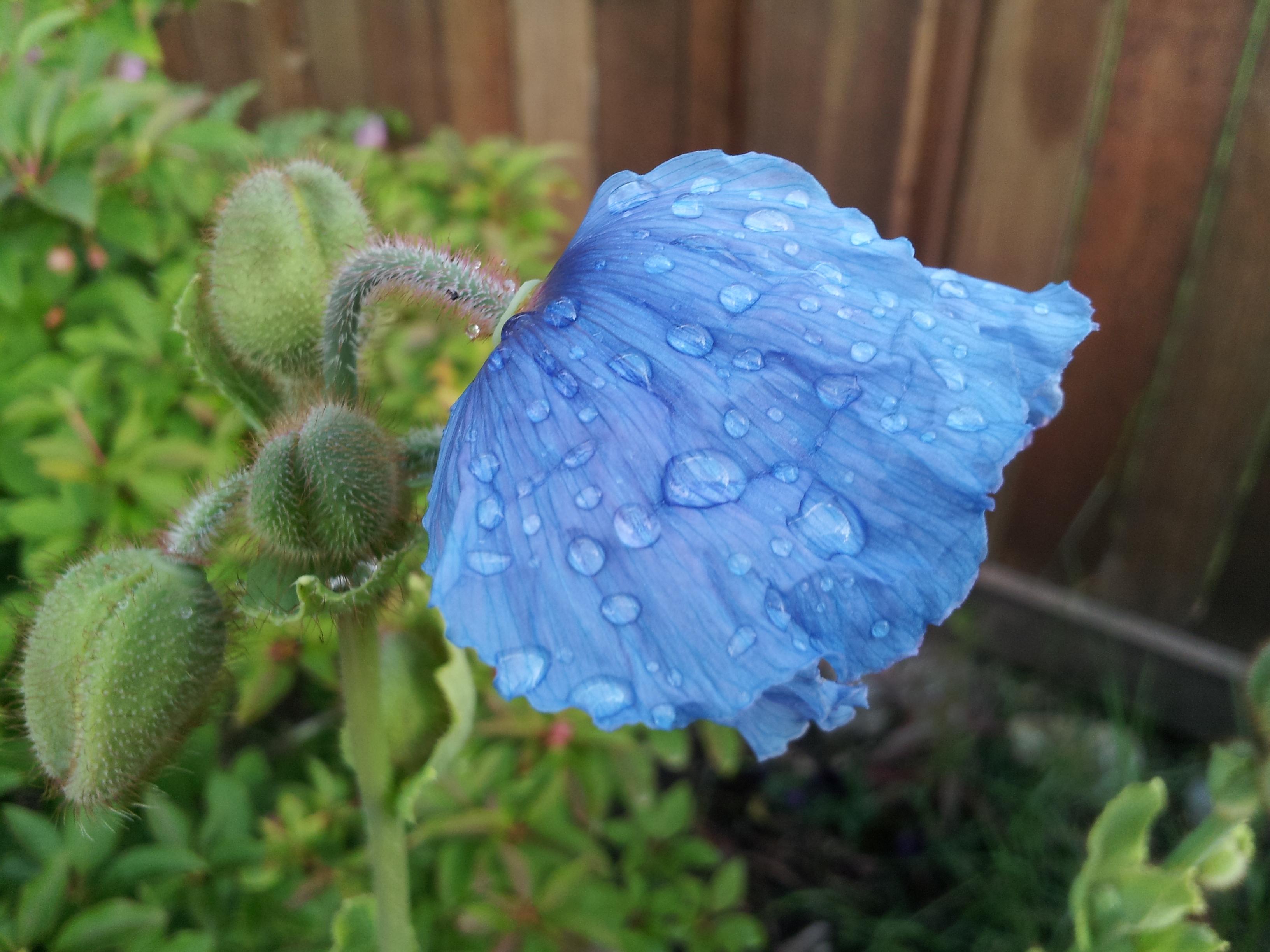 Meconopsis Baileyi Himalayan Blue Poppy Hortophile My New Garden