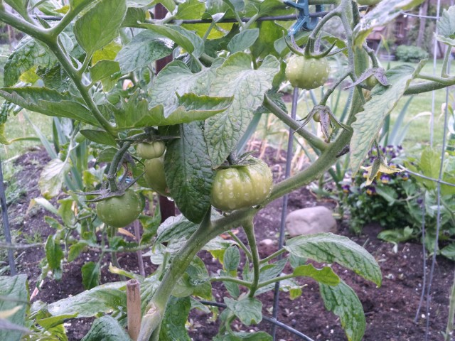 Shivering cold, dripping wet tomatoes in the garden