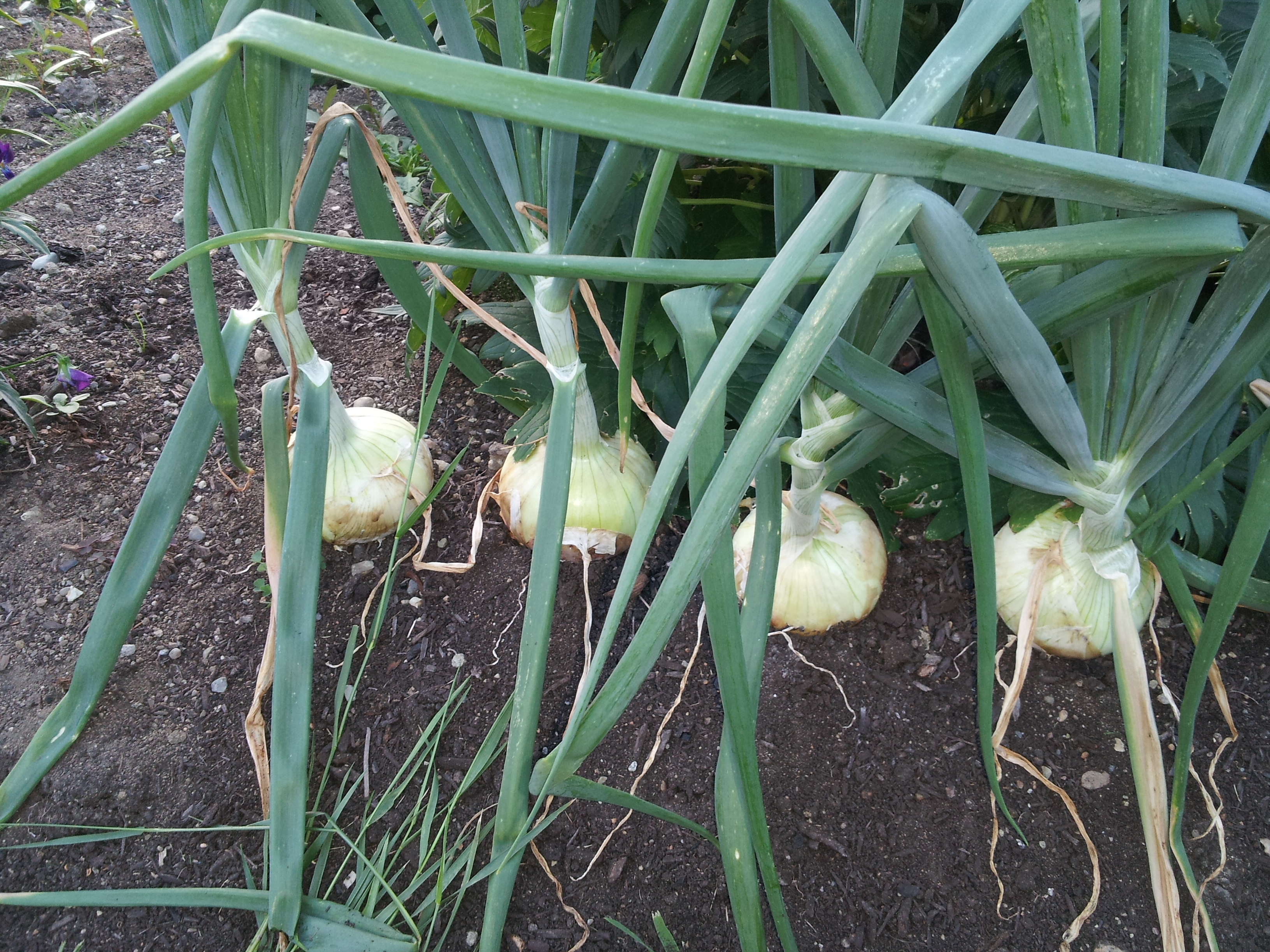 how to grow onions from onions