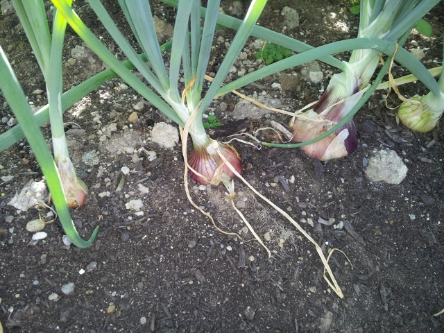 Growing onions - Ambition shallots