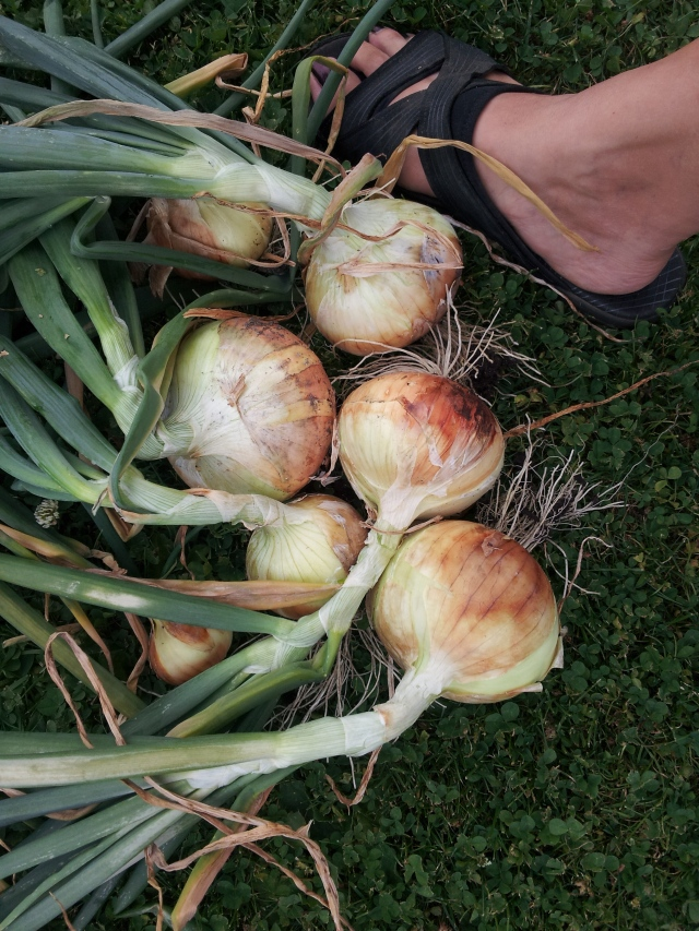 Growing onions - Walla Walla onions