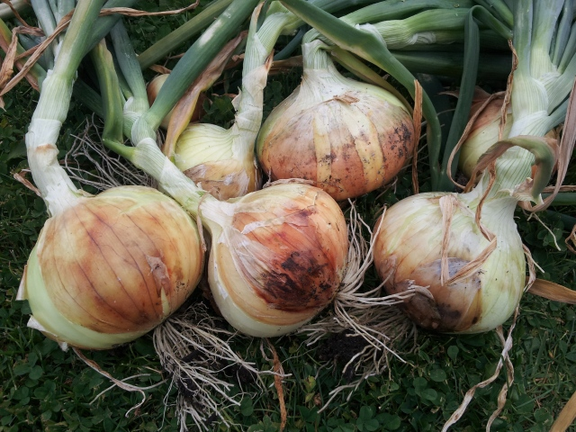 Growing onions - curing Walla Walla onions