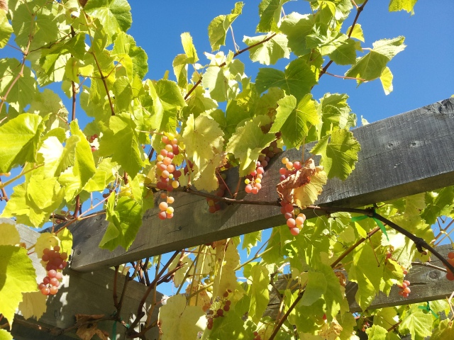 Suffolk Red Seedless Grapes