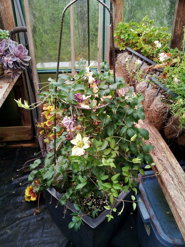 Blooming in the greenhouse in November