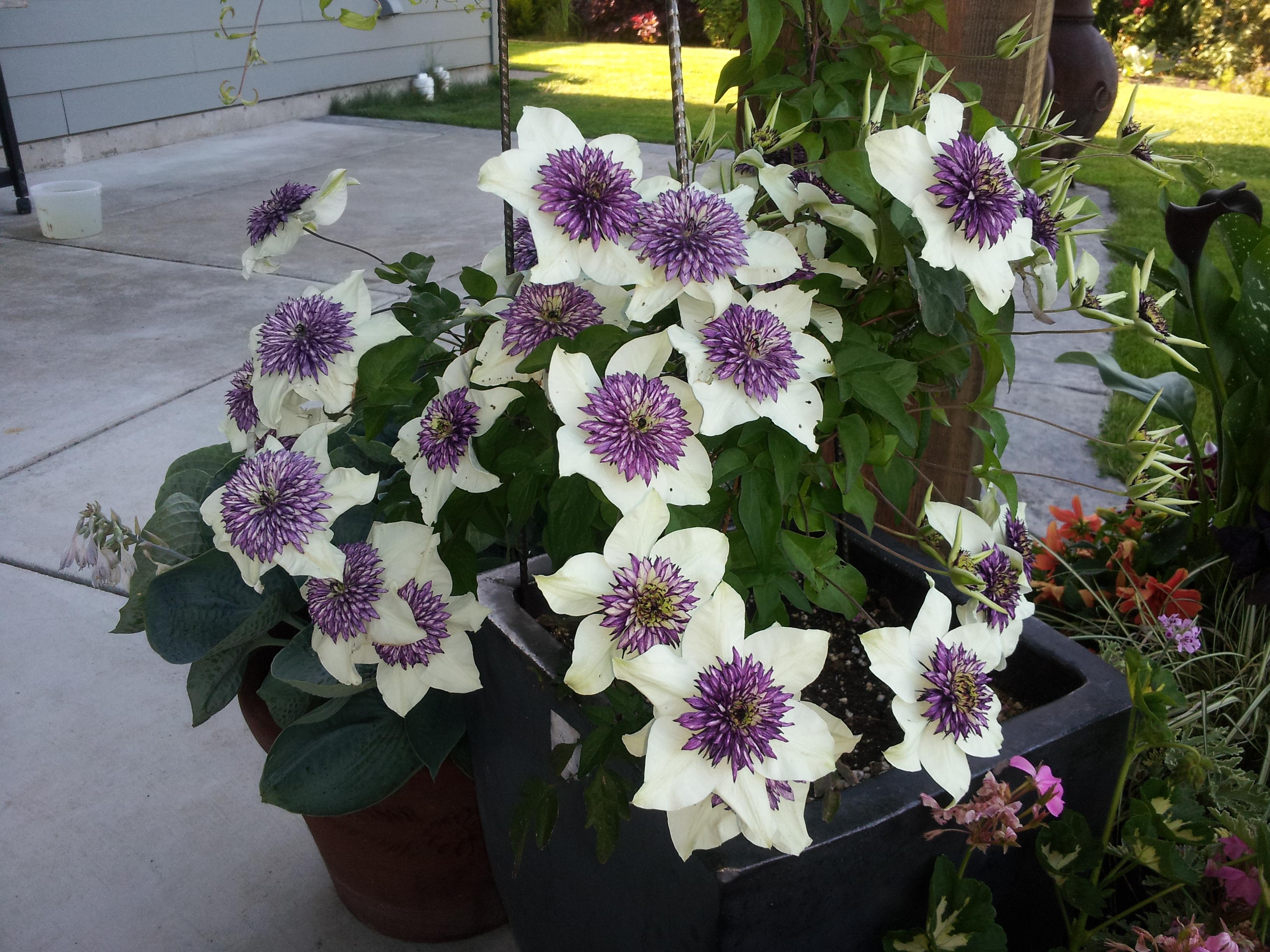 clematis florida sieboldii hortophile my new garden. Black Bedroom Furniture Sets. Home Design Ideas