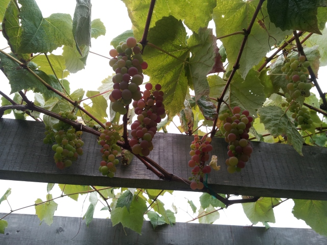 pergola and grapes