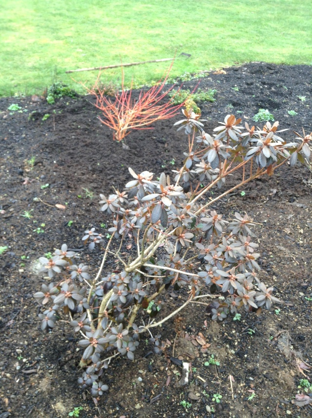 Cornus 'Midwinter Fire' and Rhododendron 'Black Satin'