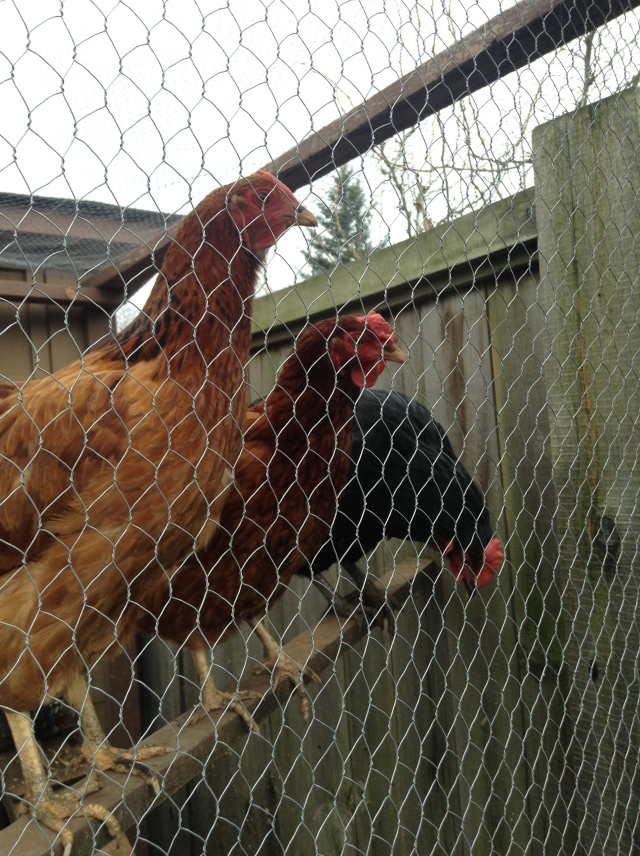 The chooks were nervous about all the noise
