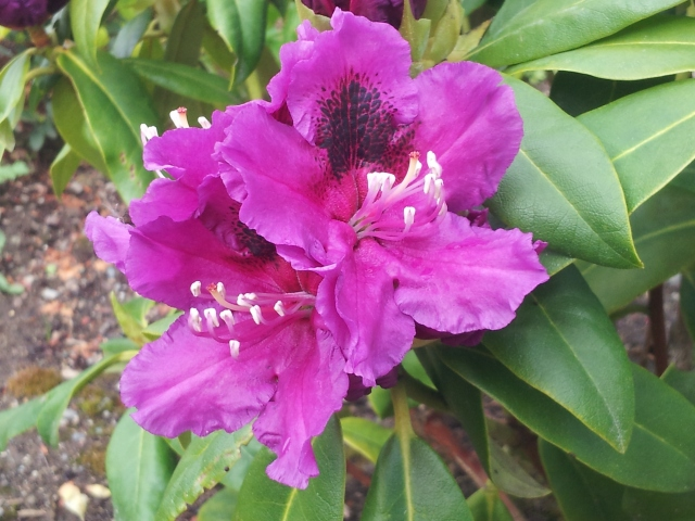 Rhododendron Jonathon Shaw