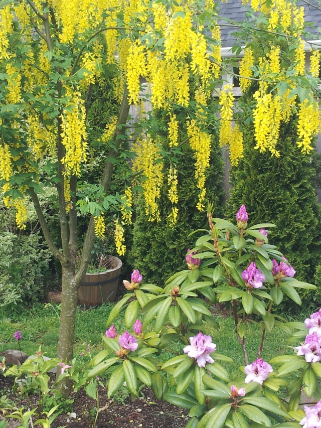 Laburnum vossii and Rhododendron A. Bedford
