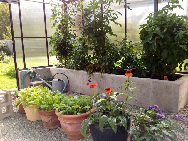 The Sicilian Saucer plant is on the right, you can just see the giant tomato at the bottom of the plant