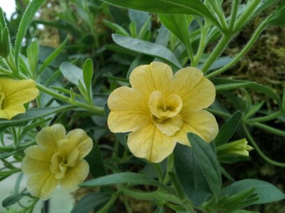 Double Yellow Calibrachoa