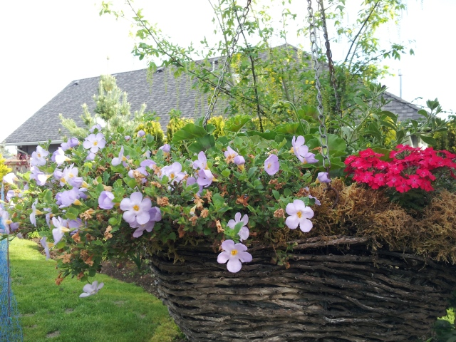 An overwintered basket with bacopa, verbena and geranium