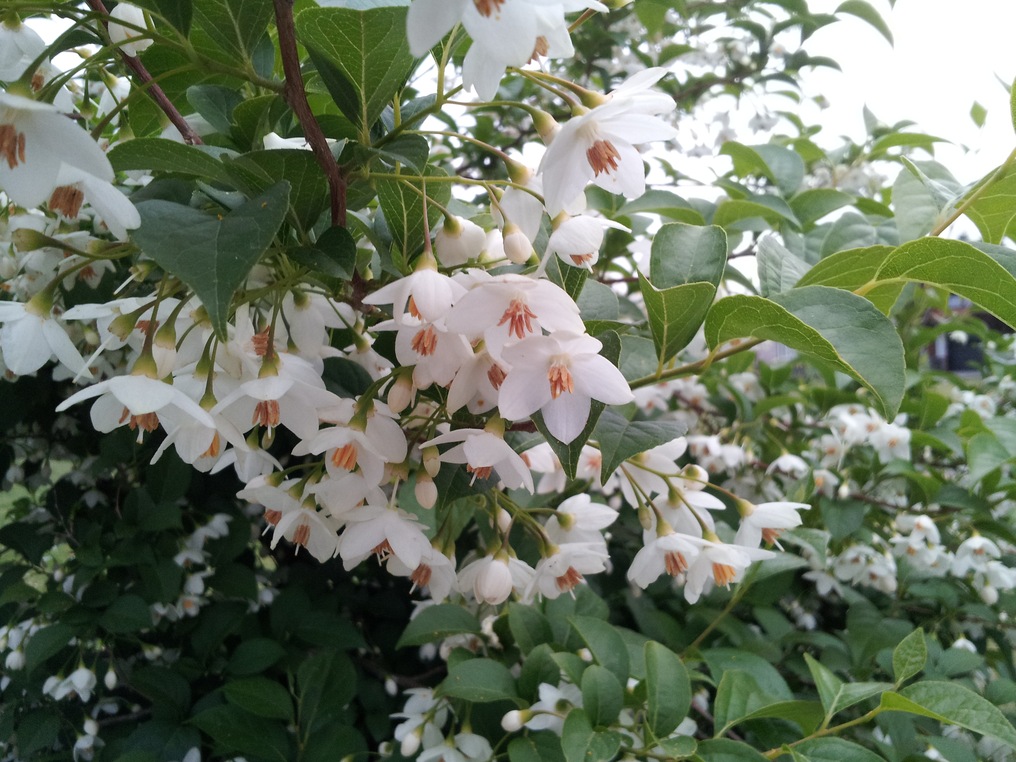 Styrax Japonica – Japanese Snowbell | Hortophile – My New Garden - photo#9